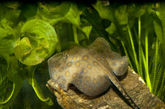 California Spotted Stingray Stock Photography