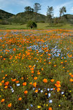 California Spring Wildflowers and Oak Woodland. A colorful view of California Poppies, Baby Blue Eyes, Goldfields, and other wildflowers. Grey pines and oak Stock Photography