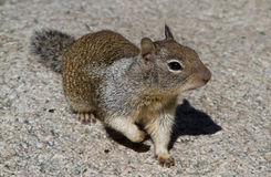 California Squirrel Royalty Free Stock Photography