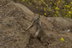 California Squirrel watches out for intruders. Squirrel watches out for danger in some dirt alongside yellow flowers Stock Photos