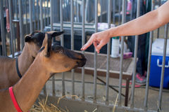 California State Fair at Cal Expo. Sacramento, California, U.S.A. 23 July 2017. Hand touching goat on display at the California State Fair at Cal Expo. The fair Royalty Free Stock Photos