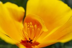 The California state flower, the California poppy, opens its petals. royalty free stock image