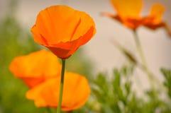 California State Poppy Royalty Free Stock Photo