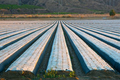 California Strawberry Fields Royalty Free Stock Photos