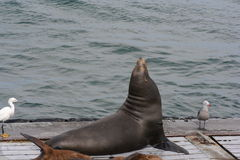 California Sun Bathing Seal. Seal sunbathing on the docks in California Royalty Free Stock Image