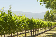 California sun-soaked vineyard Stock Photo