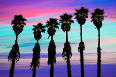 California sunset palm trees washingtonia western coast Royalty Free Stock Photography