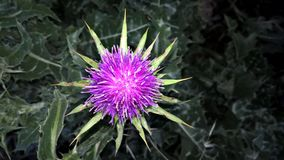California thistle flower. Purple California thistle flower surrounded by green leaves Royalty Free Stock Photo