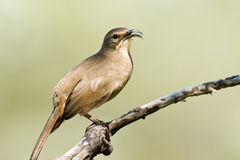 California Thrasher. Calling From Perch Stock Image