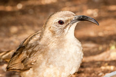 California Thrasher Stock Photo