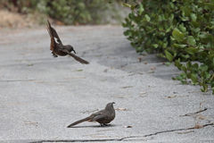 California Thrasher. A male California Thrasher courting a female in Glendale, California Stock Photo