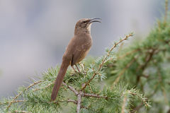 California Thrasher. Singing while perched on a pine tree branch Royalty Free Stock Photo