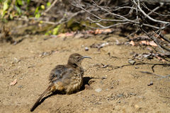 California Thrasher, Toxostoma redivivum Royalty Free Stock Photo