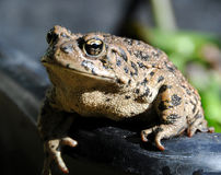 California Toad Basking in the Sun. California Toad Basking in the Summer Sun Royalty Free Stock Photo