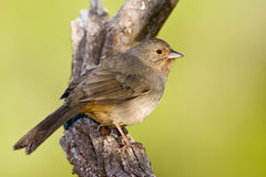 California Towhee Royalty Free Stock Image