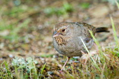 California Towhee Stock Photo