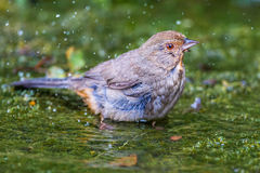 California Towhee Stock Photography