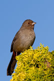 California Towhee (Melozone crissalis) Stock Images