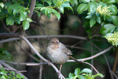 California Towhee, Pipilo crissalis Stock Photos