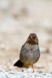 California Towhee, Pipilo crissalis Stock Photography
