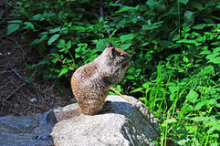 California, United States of America, Usa. A squirrel on a rock in Yosemite Park on June 16, 2010. Squirrels are one of the protected species in Yosemite royalty free stock photos