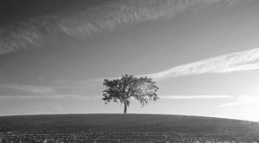 California Valley Oak Tree in plowed fields in Paso Robles wine country in Central California USA - black and white Stock Image