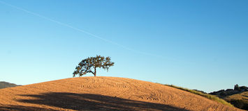 California Valley Oak Tree in plowed fields under blue sky in Paso Robles wine country in Central California USA. California Valley Oak Tree in plowed fields royalty free stock image
