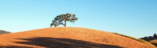 California Valley Oak Tree in plowed fields under blue sky in Paso Robles wine country in Central California USA. California Valley Oak Tree in plowed fields Stock Image