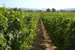 California vineyard. Vineyard in California, U.S.A stock photography