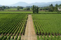 California vineyard. Vineyard in California, U.S.A. (here they produce great quality red wines stock images