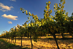 California vineyard Stock Photography