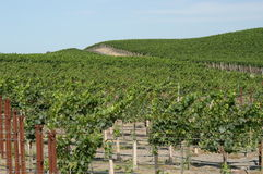 California vineyard. Vineyard in California, U.S.A royalty free stock photography
