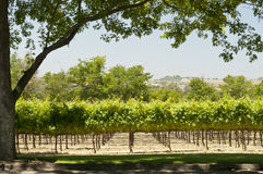 California vineyard Stock Image