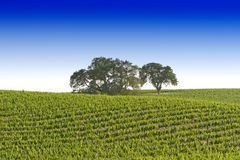 California vineyard stock image