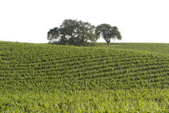 California vineyard stock photos