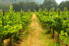 California Vineyard. Rows of grapes, waiting to be made into wine, grow in the misty hills of California Stock Images