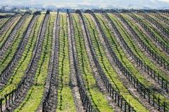 California Vineyard Background Stock Image