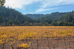 California Vineyard in the Fall Stock Photography