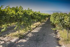 Vineyard with immature grapes. A california vineyard with green immature grapes on the vine Stock Photos