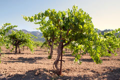 California vineyard landscape Stock Photography