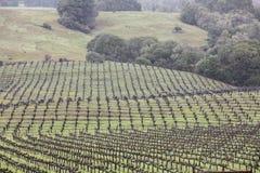 California Vineyard. A large vineyard covers green hills in Napa, California Royalty Free Stock Photos