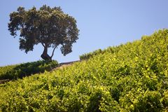 California Vineyard & Winery Stock Image