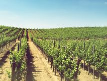 California Vineyards. Stock Photography