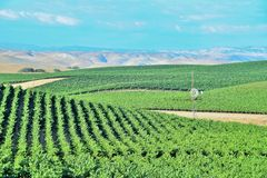 California Vineyards, Wine Country. Rolling hills of grape vines are common in the vineyards of northern and central California stock photos