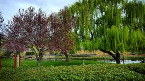 California Vinyard. Weeping willow scenery Napa Valley Royalty Free Stock Photos