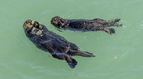 California on the way to Carmel, sea otters, royalty free stock photo