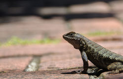 California western fence lizard Stock Photography