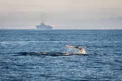 California Whale Stock Photo