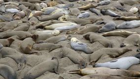 California wild Elephant Seals in Piedras Blancas point in South Big Sur. Inn Pacific Highway 1 stock video