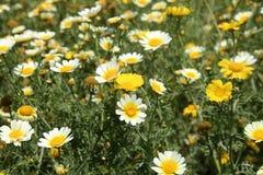 California Wild Flowers Daisies. South California Wild Flowers full of Daisies Royalty Free Stock Photo